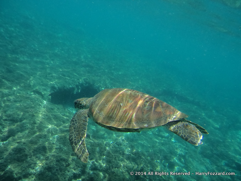 Turtle Swimming at Apo Island